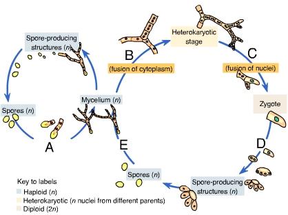 Solved: Fungi Produce _____ Spores. Fungi Produce _____ Sp