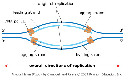 Solved: As The Two Parental (template) DNA Strands Separat ...
