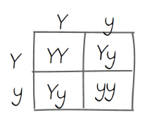 A Punnett Square With Two Rows And Columns Row One Is Labeled Big